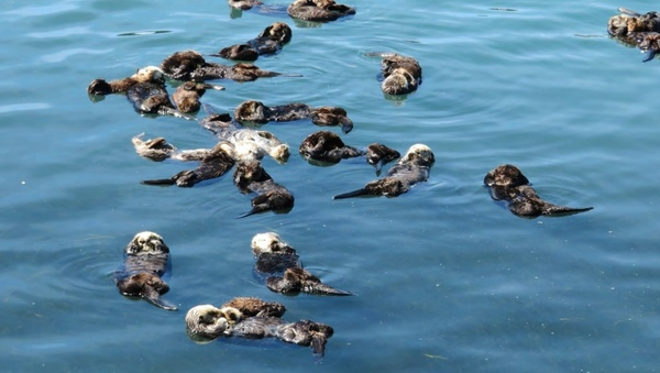 Guess what? It's Sea Otter Awareness Week!