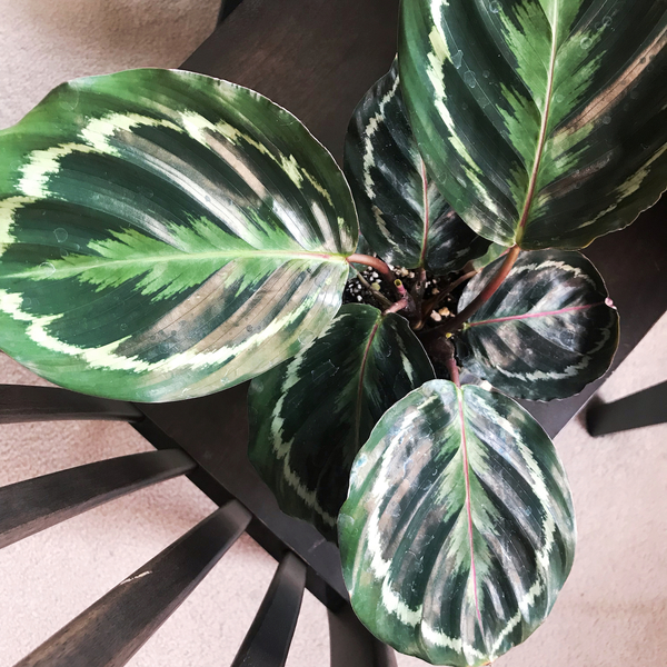 Friday's news cycle was pretty awful, so I ended up going to the plant store to buy pots. I bought zero pots and instead bought this red prayer plant (red/purple underside). It folds its leaves up at night!