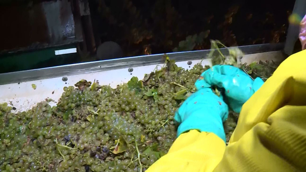 California Grape Farmers Brace For Rain As Harvest Season Arrives « CBS Sacramento
