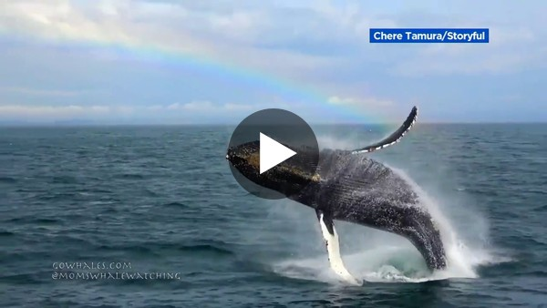 Whale breaches with rainbow in background in Monterey Bay - YouTube