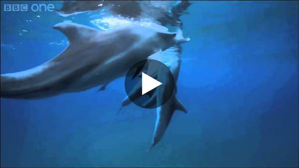 Teenage dolphins getting high on puffer fish