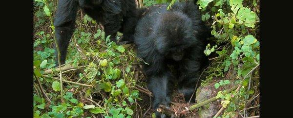 Junge Gorillas können lernen, wie sie Wildererfallen unschädlich machen