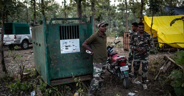 Indische Behörden wollen einen wilden Tiger fangen – mit Männerparfum
