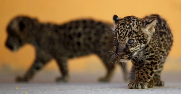 Die Maya hielten Pumas und Jaguare in Wildtier-Zoos