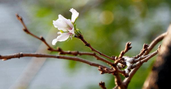 Warum Japans Kirschbäume Monate zu früh blühen