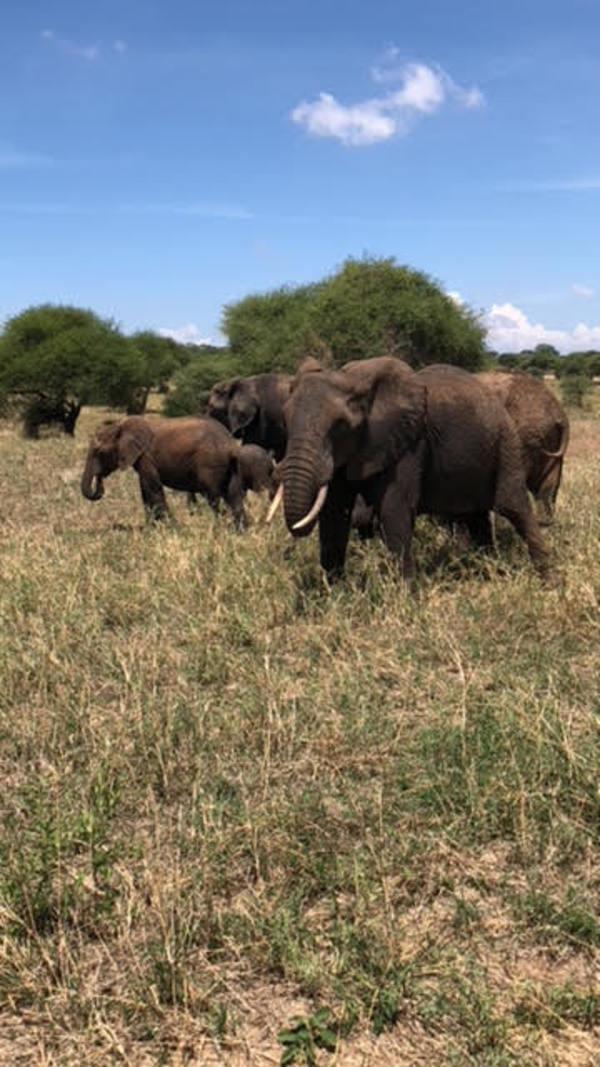Elephant was staring hard- Tarangire safari, Tanzania 🐘