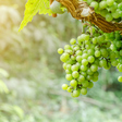 New investment in Australian vine and wine research