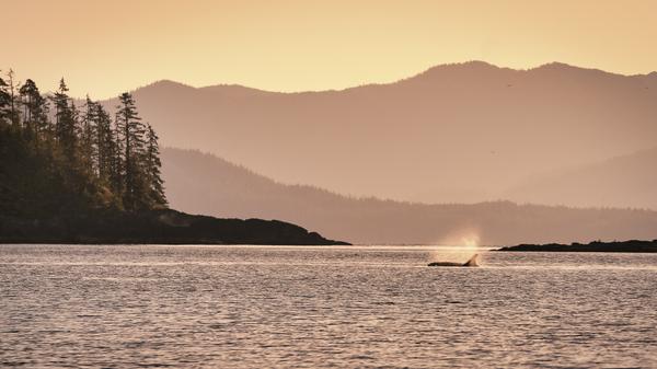"""""""Orca at Sunset"""" ©Kris Vockler"""