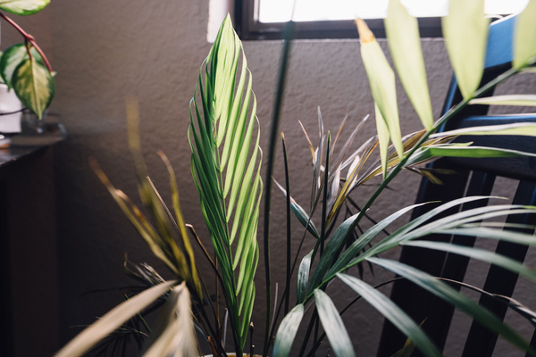 My parlor palm, once very happy, has thrown fit after fit, but it looks like it's finally coming back up!
