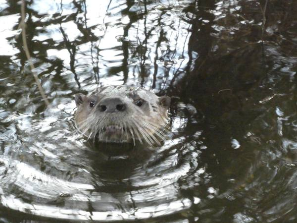 Elusive river otter spotted in Berkeley's Aquatic Park - SFGate