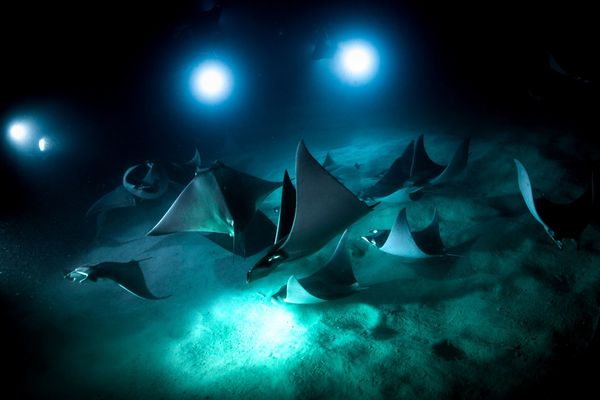 Mobula rays in the Sea of Cortez. (OceanX)