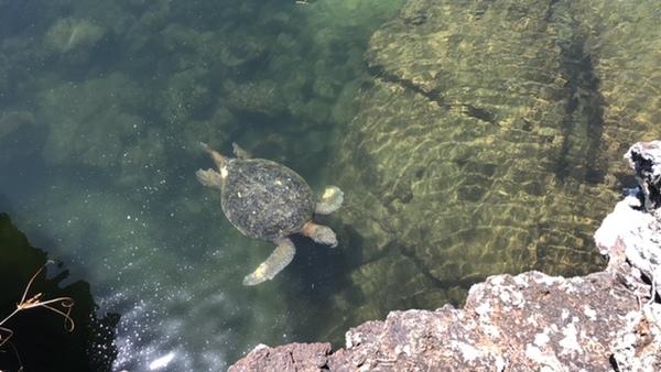 Een zeeschildpad op het eiland Isabela.