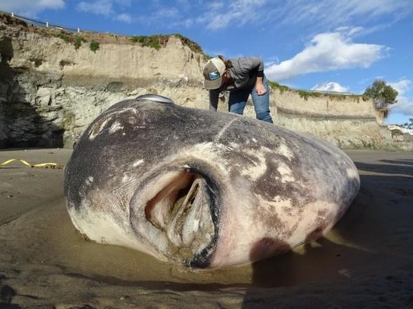 Scientists Shocked By Rare, Giant Sunfish Washed Up On California Beach | Valley Public Radio