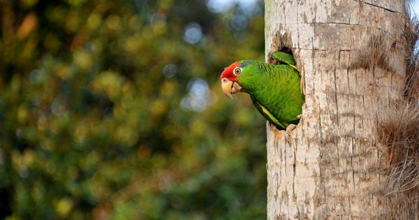 Can We Conserve Endangered Parrots By Keeping Them In Cities?