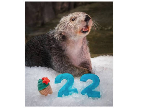 Charlie, Oldest Sea Otter Living In A Zoo Or Aquarium, Turns 22 | Long Beach, CA Patch
