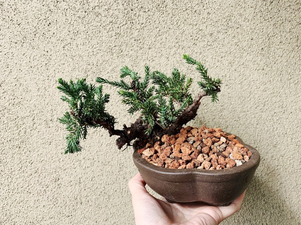 I went to bonsai workshop and potted my first bonsai! In two years, I should be able to refresh its soil and turn it 45ºCCW so it cascades more fully down the side.