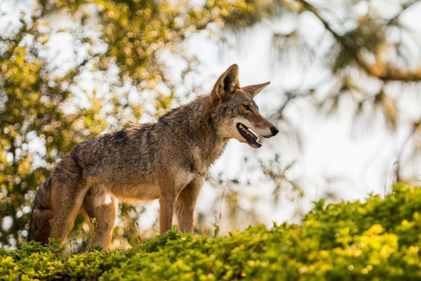 What, Exactly, Are Southern California's Coyotes Eating? - Atlas Obscura