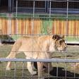 Nach Kritik an Löwennummer: «Wir machen alles für diese Tiere»