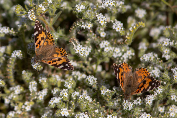 An Amazing Butterfly Irruption Is Swarming Across California - Atlas Obscura