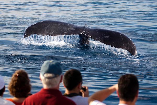 Japaner mögen Whale-Watching jetzt lieber als die Waljagd