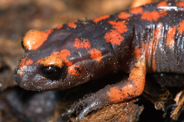 Super variable California salamander is 'an evolutionist's dream'