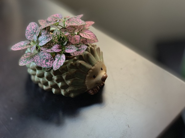 My new polka dot plant is very happy in its hedgehog planter.