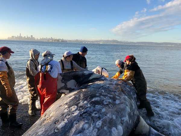 Whales in the bay: Great for sightseers, but biologists are concerned - SFChronicle.com