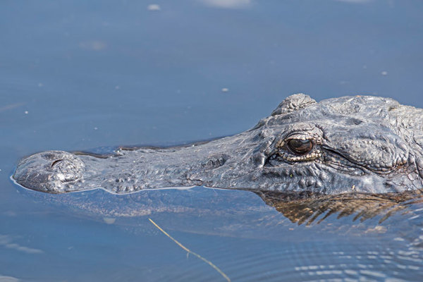 Florida Fish & Wildlife issues tips on living with alligators during warmer weather 🐊