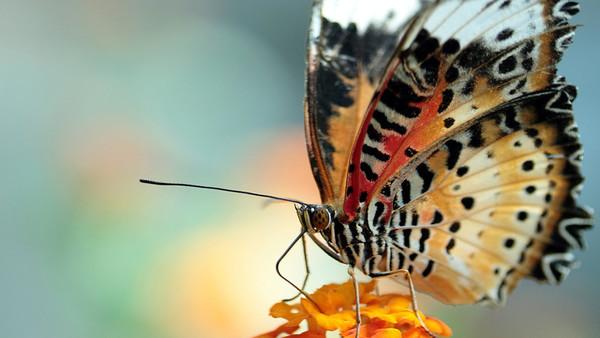 Studie: Landwirtschaft vertreibt Schmetterlinge
