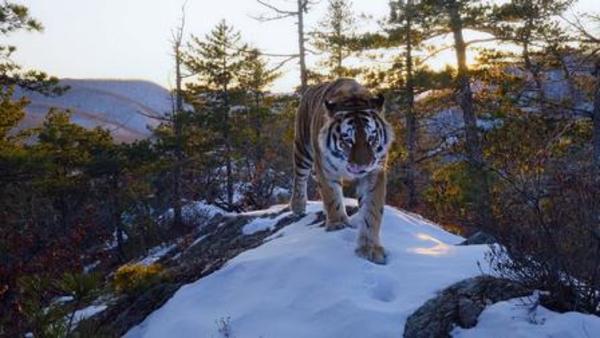 de Siberische tijger in zijn natuurlijke habitat