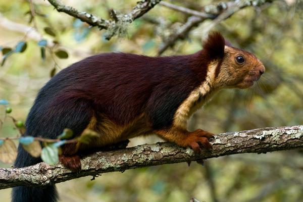 In Indien gibt es riesige Eichhörnchen und sie haben lila Fell