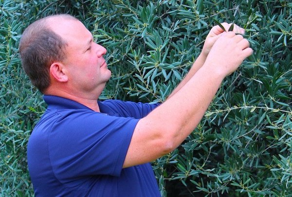 Bad news, good news for olive growers - The Business Journal