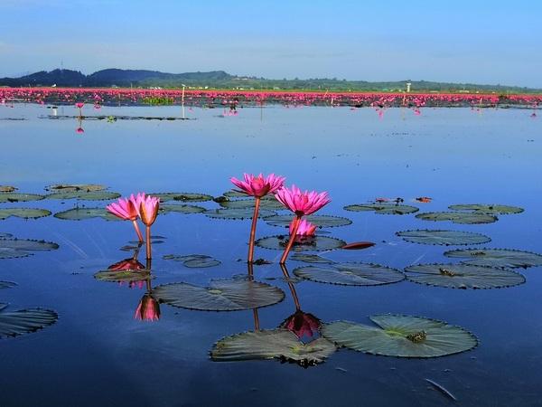 De opvallendste kleur is het roze van de lotusbloemen.