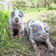 Varkens hebben het goed op boerderij Buitenverwachting