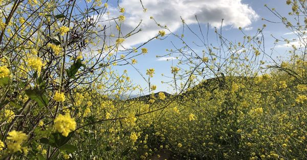 The bright yellow flowers blanketing LA hills are actually invasive—and 'evil'