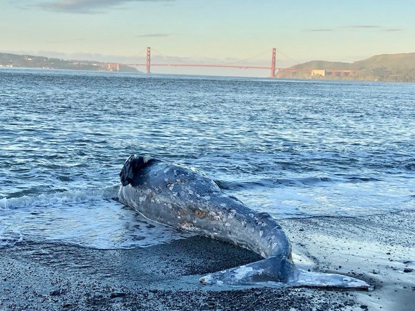 Why Are So Many Gray Whales Washing Up Dead on California's Coast?
