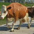 Duizend mensen zien koeien de wei in dansen