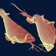 Obscure sexually transmitted parasite tangles with immune system