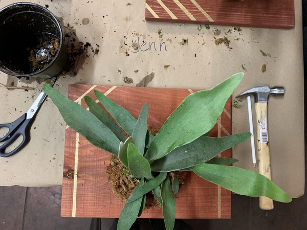 I took a staghorn fern mounting class, which was lots of fun. Let's hope this one survives!