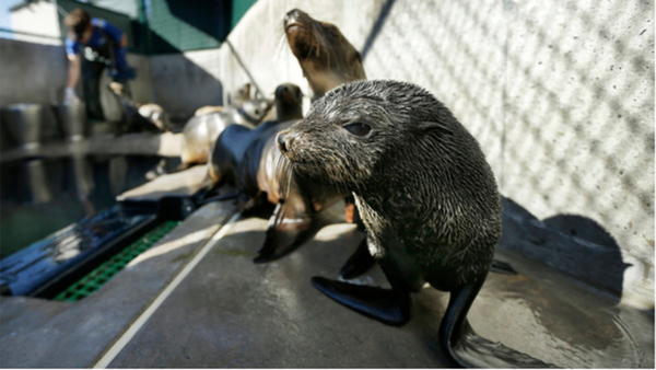 Off-leash dog kills threatened fur seal at a Northern California federal beach