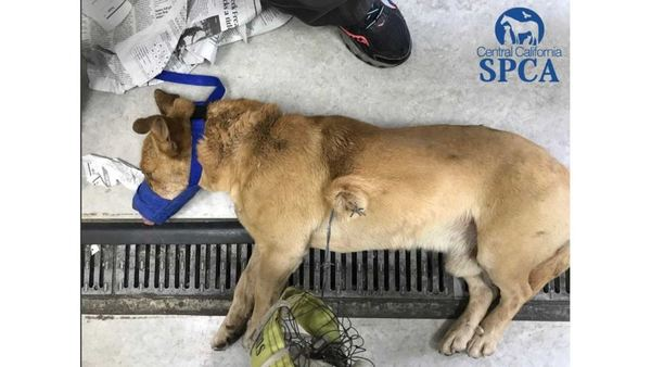 Dog Found In Fresno Tangled In Barb Wire And Volleyball Net