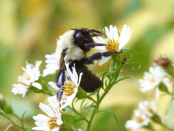 As bumblebee diets narrow, ours could too | News