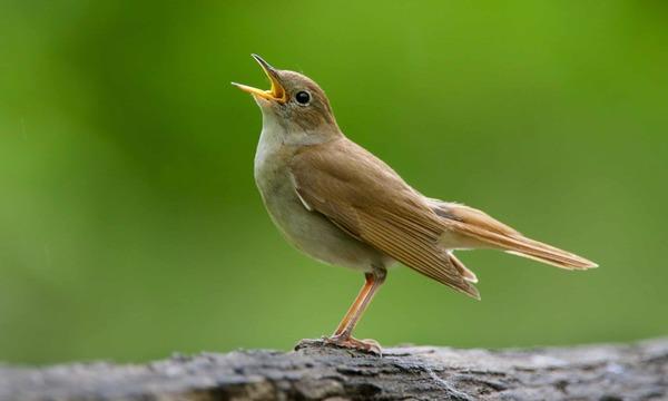 Natural high: Was hinter Vogelgesang steckt