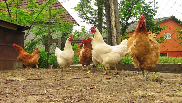 California's backyard poultry flocks falling dead from highly contagious virus | Food Safety News