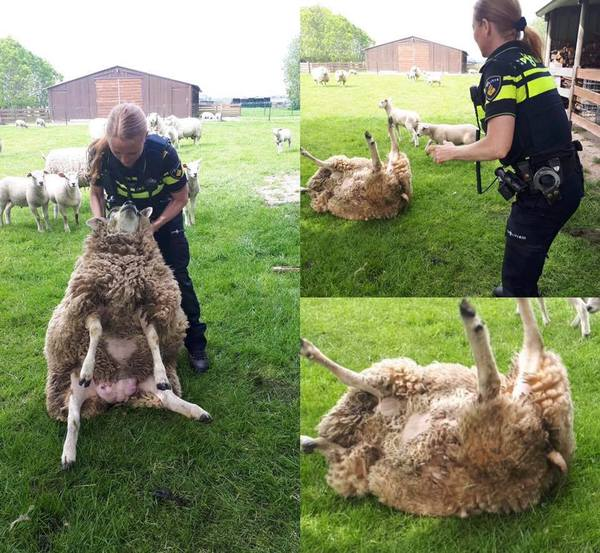 Dierenpolitie red schaap
