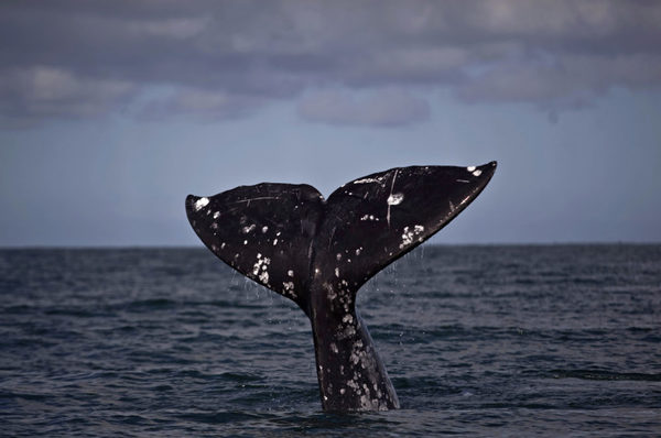 Gray Whales Wash Up On West Coast At Near-Record Levels | Here & Now