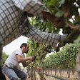 4) Associated Press: New PBS film showcases Mexican Americans' role in winemaking
