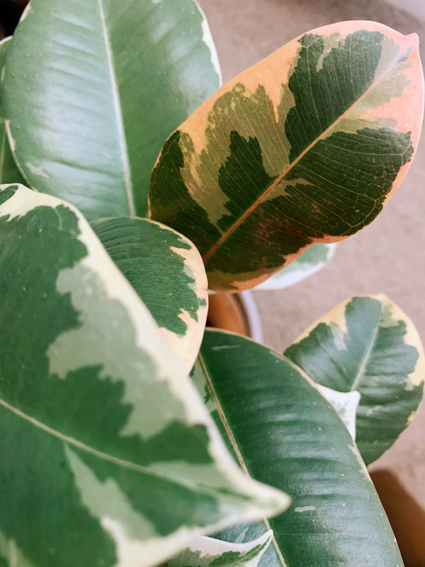 My variegated rubber plant with its fresh pink leaf that looks like a watercolor painting.