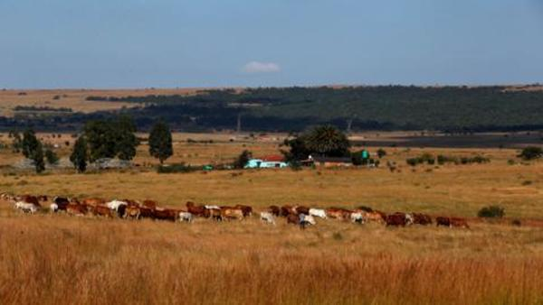 Colombian farmers change cow diet to save environment