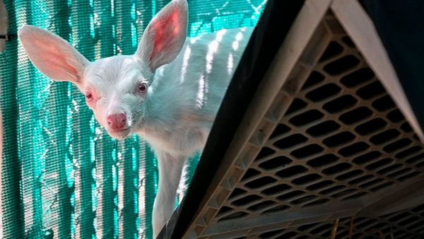 Rare albino fawn found, rescued by trucker in California - ABC News